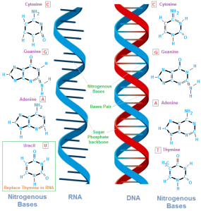 Deoxyribo Nucleic Acid (DNA) and Ribonucleic Acid (RNA) are the major molecules of all life on Earth.